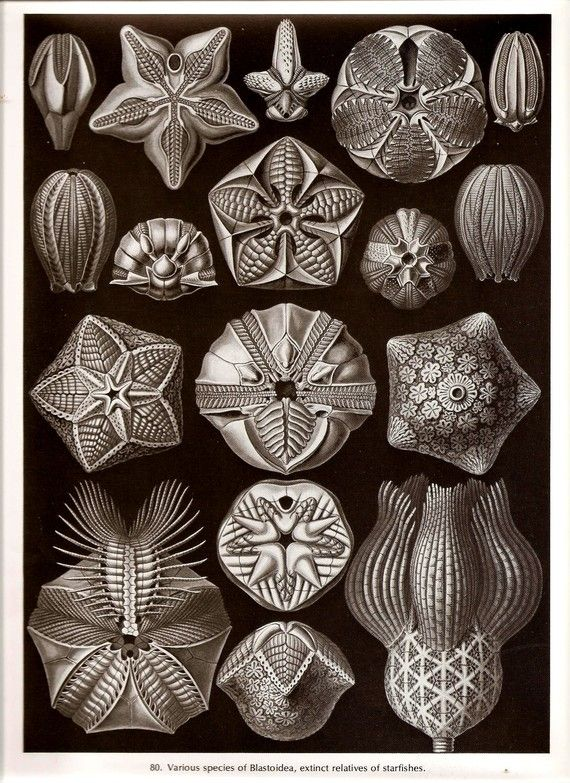 Ernst Haeckel STARFISH Art Print Collectable Vintage 1974 Book Page PLATE