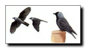 """Kauw (Corvus monedula L. ) De kleinste in Nederland voorkomende kraaiachtige. Grijze nek, lichte ogen,  loopt met knikkende kop. Kiest als nestplaats een holte, kerktorens, hoge bomen met een holte en schoorstenen. Wordt wel """"torenkraai"""" genoemd. Eet  insecten, larven, jonge vogels, fruit en eikels, zoekt op weilanden en  velden. Komt vaak in zwermen voor met andere kraaiachtigen. Werd vroeger wel  als huisdier gehouden, is zeer slim en kan stemmen imiteren, berucht  door het stelen van…"""