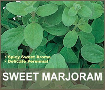 """Sweet Marjoram Plant - Individually grown and shipped in 3.5"""" pots. The generous pot size offers you plants with a well developed root system, giving you a head start to plant maturity. #live #plant"""