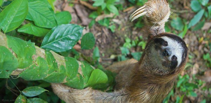 Ein dreifingriges Braunkehl-Faultier erklimmt im Regenwald von Costa Rica einen Stamm, um an sein Futter zu gelangen: die Blätter der Baumkrone. Diese energiearme Kost bedingt auch die energiesparende »faule« Lebensweise der meist kopfüber hängenden Baumbewohner.   Diese Karte hier online kaufen: http://bkurl.de/amzn-211381 Art.-Nr.: 211-381 Energiesparer | Foto: © Suzi Eszterhas/Minden Pictures | Text: Rolf Bökemeier