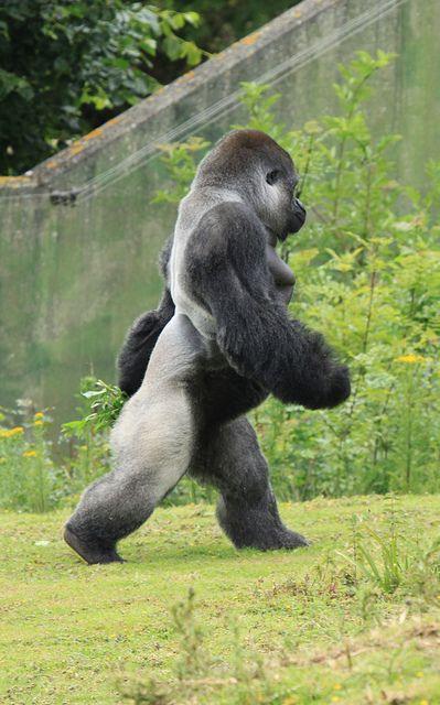 Ambam - Walking Gorill...
