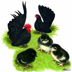 Chickens for Sale | Black Japanese Bantam Chickens | Bantam Chicken Breeds