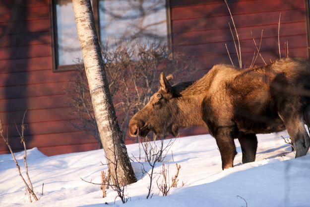 Moose kicks passerby in Smithers, BC