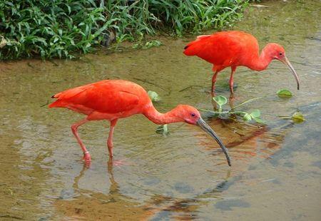 Parque Nacional dos Campos Amazônicos: garça amazônica