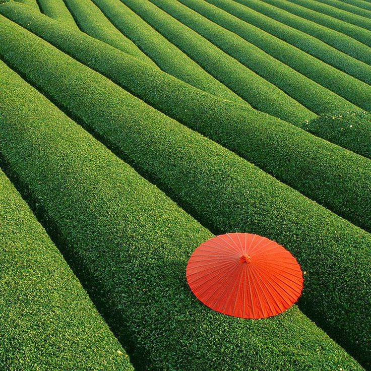 Fields of Tea – China