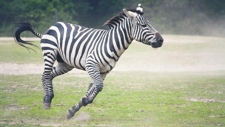 Скачать обои зебра, бег, трава, раздел животные в разрешении 1600x900