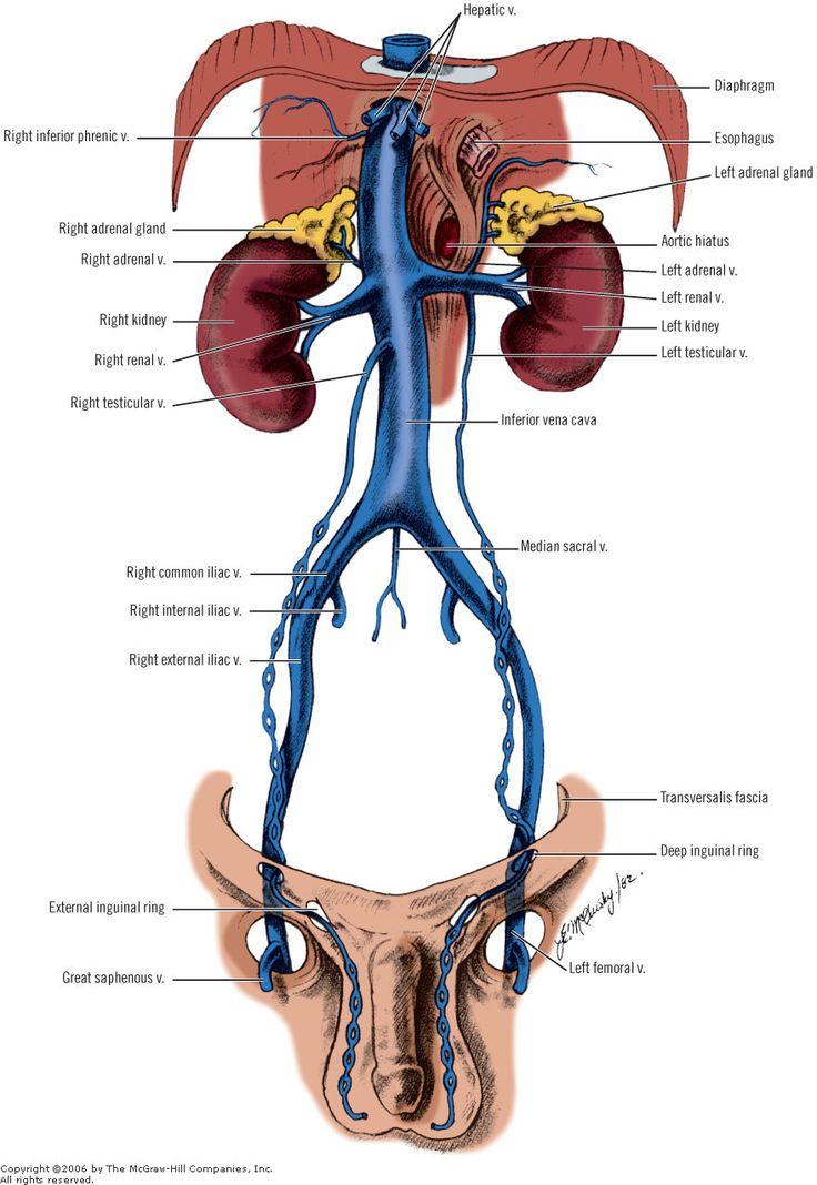 34 besten Veins in Abdominal Area Bilder auf Pinterest   Anatomie ...
