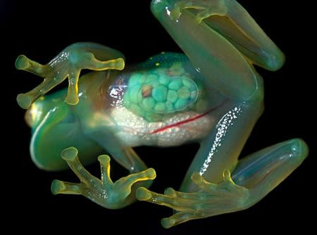 Transparent Frog,  Native to Venezuela, the Glass Frogs belong to the amphibian family Centrolenidae (order Anura). While the general background coloration of most glass frogs is primarily lime green, the abdominal skin of some members of this family is transparent, so that the heart, liver, and digestive tract are visible through their translucent skin.