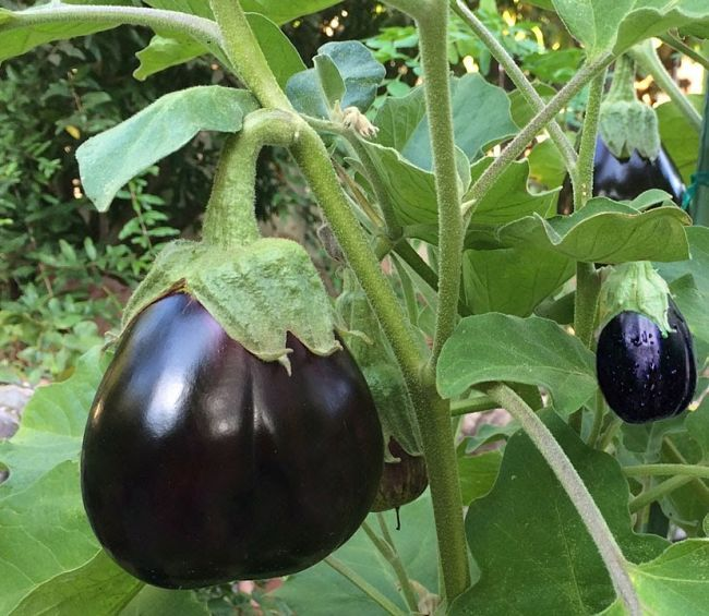 Planting And Growing Guide For Growing Aubergine Solanum Sp Also Known As Eggplant Vegetable Planting Guide Growing Vegetables Eggplant