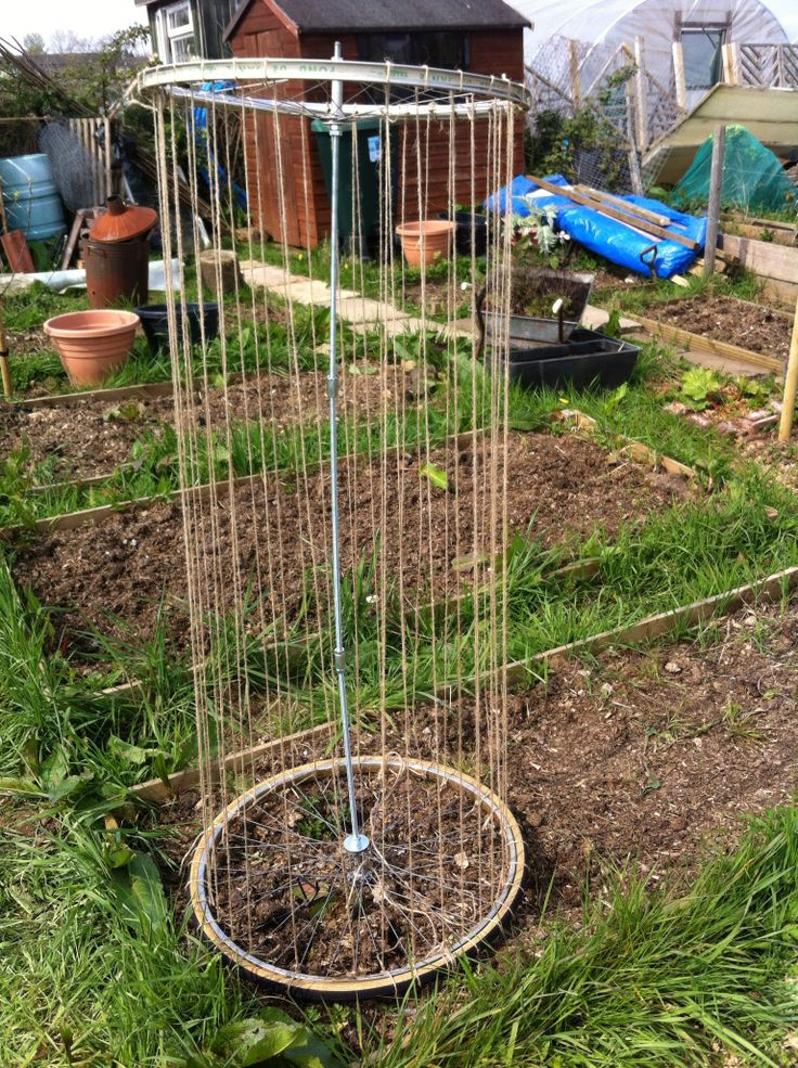 Hoping to grow mange tout using a wheel support
