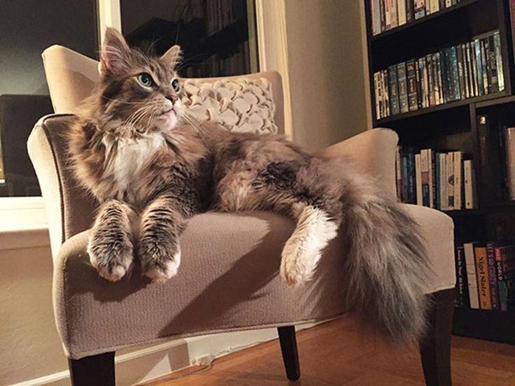 amazing distinct giant house cat breeds liv ving