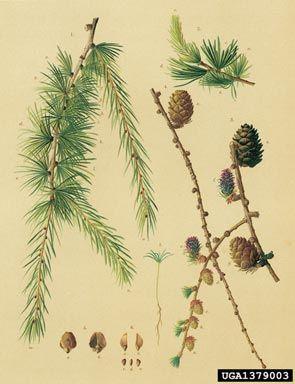 European larch, Larix decidua  (Pinales: Pinaceae) - 1379003