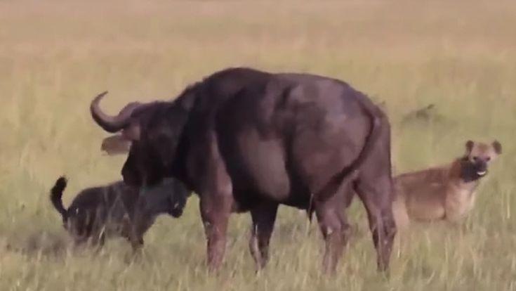 #FUERTE VIDEO: Hambrientas hienas le arrancan los testículos a un búfalo y se lo comen vivo - RT en Español - Noticias internacionales: RT…