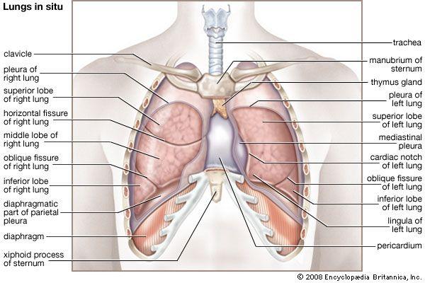 The 208 best Anatomy images on Pinterest | Human anatomy, Human body ...