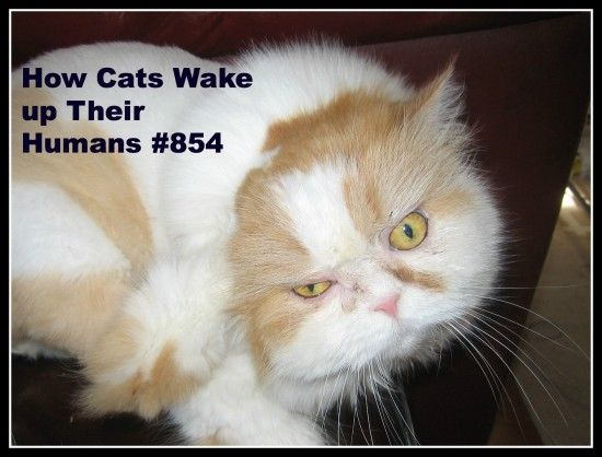 How Cats Wake up Their Humans #854