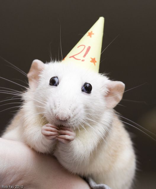 rats in hats - how could people not love them??