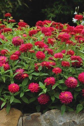 120 Zinnia Zahara Double Cherry Live Plant Plugs Garden Home Patio Planters 127
