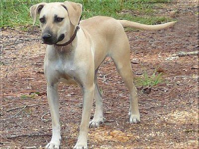 black mouth cur dog breed