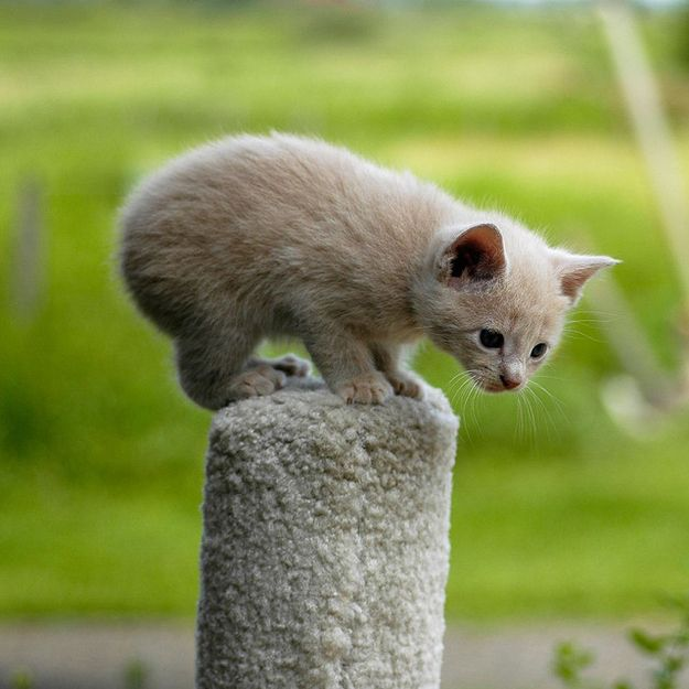 One unfortunate side effect of not having a tail is that their balance isn't great. | 37 Manx Cats That Prove You Don't Need A Tail To Be Happy