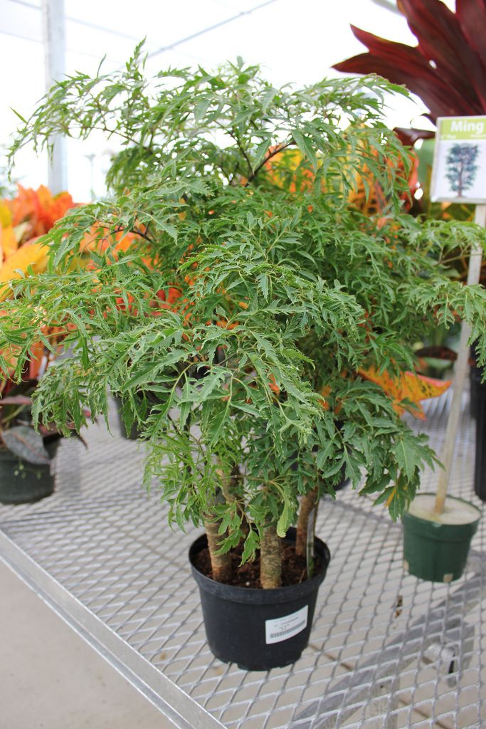 Ming Aralia Plant Care Guide Plant Care Houseplant Plants