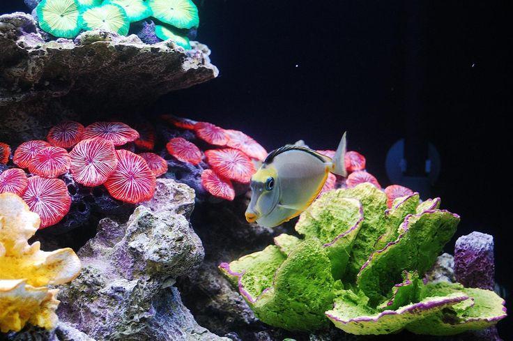 """Akwarium typu """"only fish"""", zbiorniki morskie stworzone z myślą o rybach i dla ryb! Można w nich obserwować dowolne ryby i stworzenia słonowodne, a mimo to zestaw jest bardzo łatwy w obsłudze oraz posiada bardzo atrakcyjną cenę. Możliwe jest to dzięki zastąpieniu żywych korali ich odlewami z żywic. Nie ma więc konieczności stosowania m.in. chłodziarki czy systemu dozowania mikroelementów, a całe wyposażenie techniczne ma za zadanie zapewnić optymalne warunki dla ryb."""