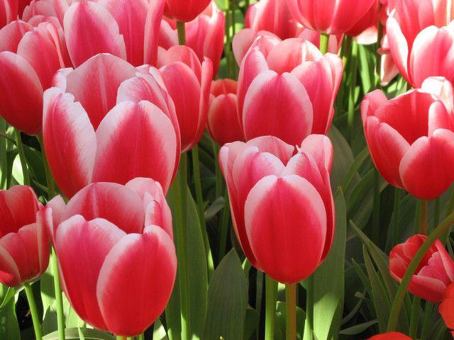 Tulipa X  gesneriana, Tulipan, Liliaceae Liljefamilien, SNITT