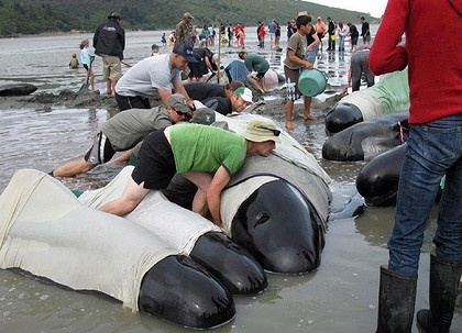 New Zealand's Struggle To Save Beached Whales Ends With Mixed Results - Kids News ArticleHeroes Saving, True Heroes, Saving Beach, Saving Whales, Da Beach, Beach Whales