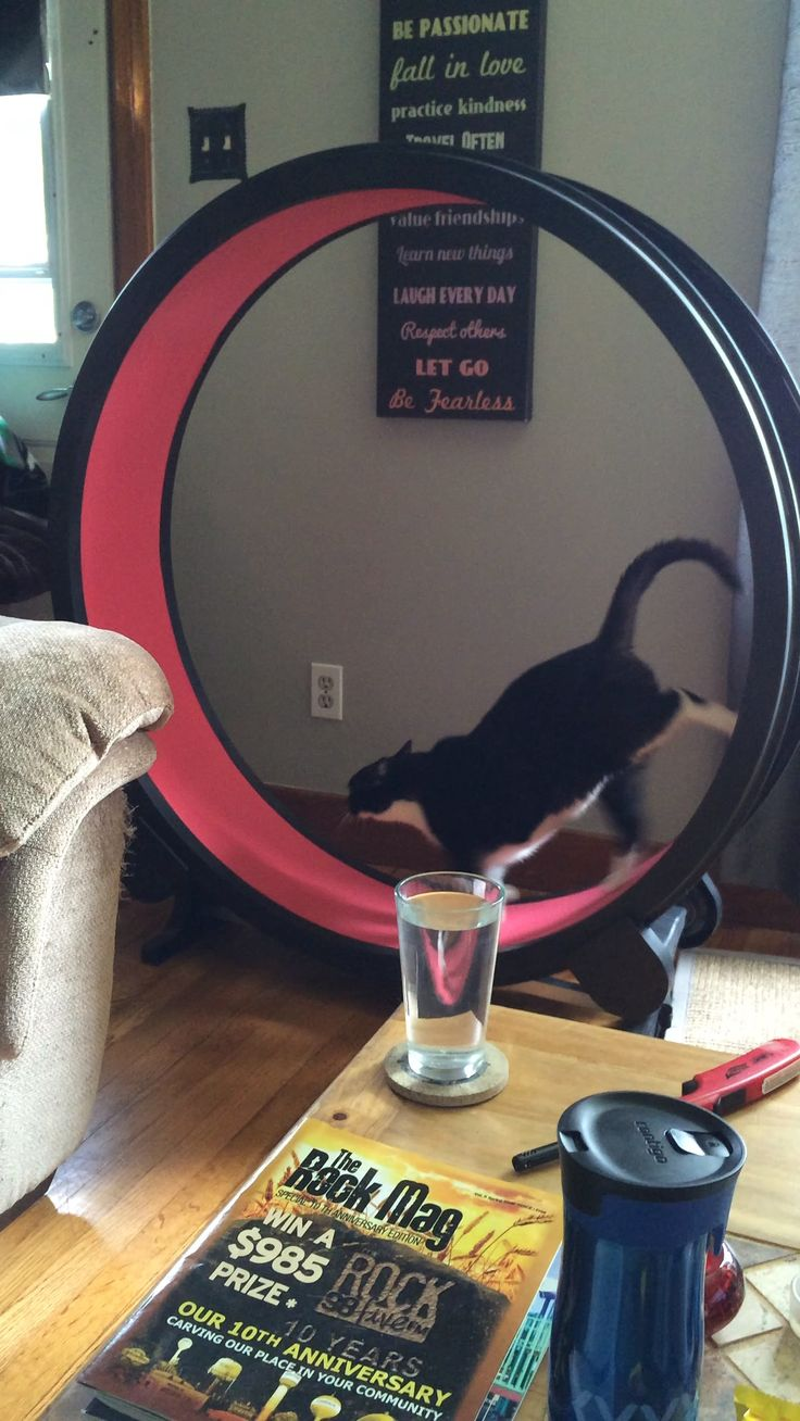 Punky running on his exercise wheel