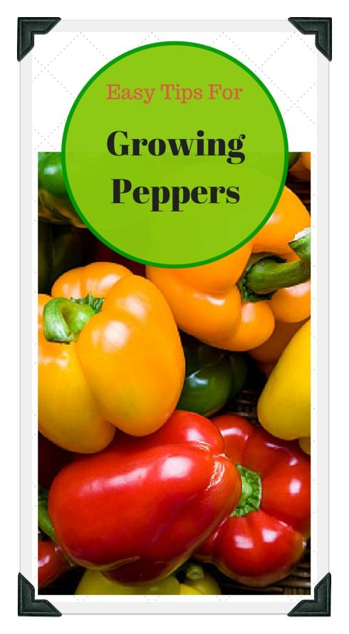 Learn all about growing peppers; from choosing seeds or transplants, preparing the soil, to proper spacing! Use our free online Vegetable Garden Planner, zone chart, planting guide, and worksheets to plan a garden that works for you!
