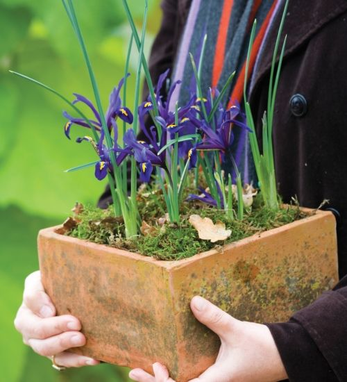 An early and long-flowering iris with a good scent, plant it at the front of the border or in a pot for inside or out. Shooting in a pot, this makes a good Christmas present.