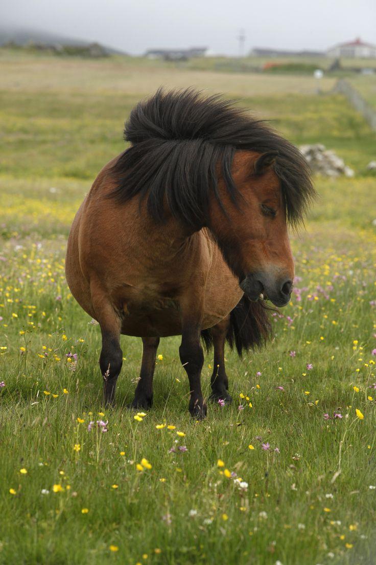 Shetland Pony, Haroldswick, Unst, #Shetland. #Scotland #Island #Travel
