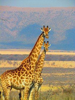 Žirafy, Jihoafrická Republika