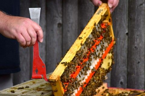 BEE KILLING PESTICIDES FOUND IN 51% BEE FRIENDLY PLANTS AT GARDEN STORES IN THE U.S. AND CANADA.   SERIOUSLY!!!    Phil Gaven, owner of the Honey Exchange and beekeeper, opens the top to one his hives to extract the queen bee for sale.