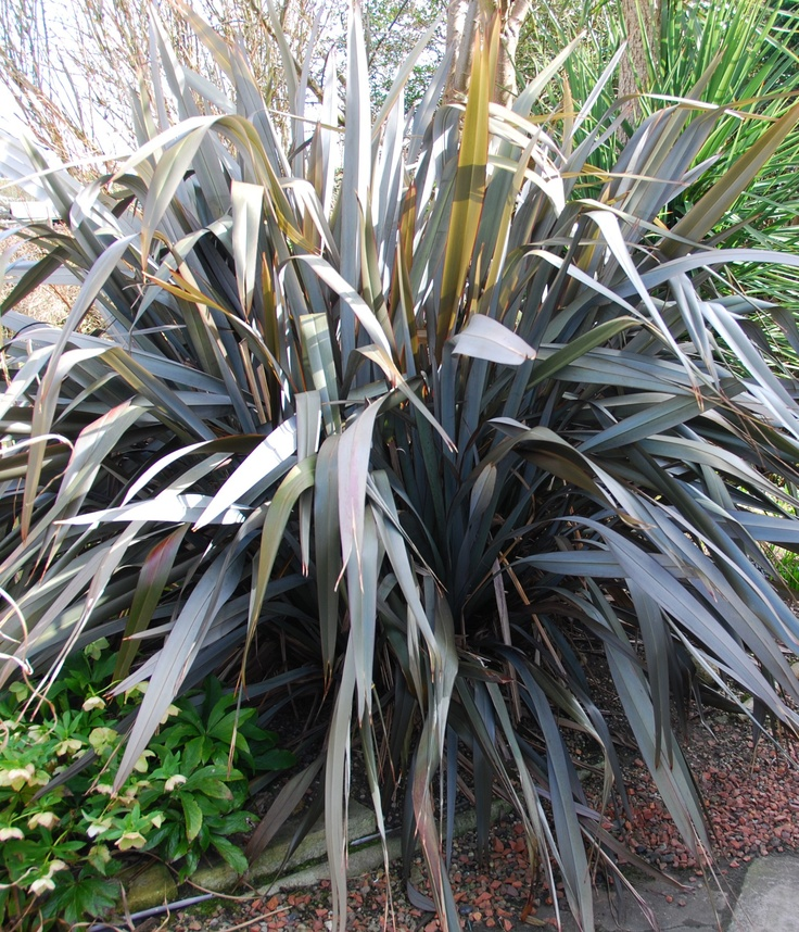 New Zealand Flax Dark - about 6 ft