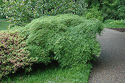 Click to view full-size photo of Cutleaf Japanese Maple (Acer palmatum 'Dissectum Viridis') at Plant World