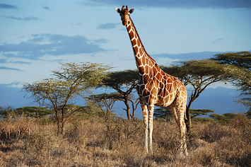 Scientists Have Only Just Discovered That There Are Four Different Giraffe Species