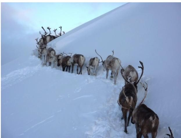 Reindeer in the Cairngorms mountains, Scotland.