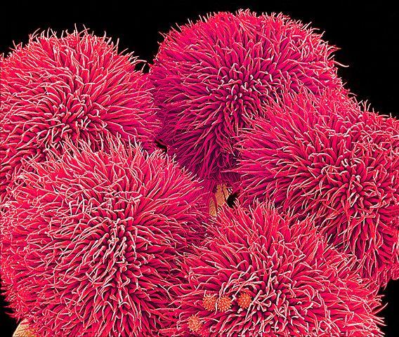 flower micrographs: Hibiscus sp. flower