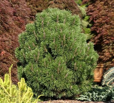 Pinus mugo 'Big Tuna'