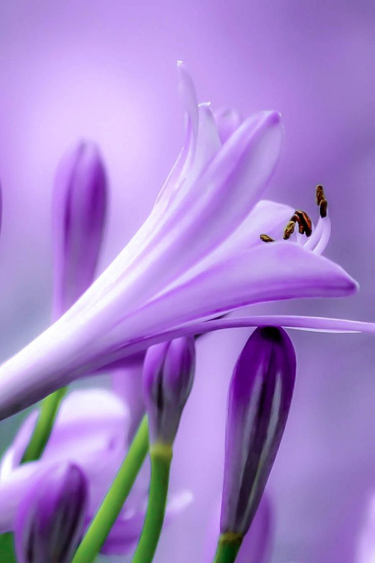 Lily of the Nile ~ lavender and purple love