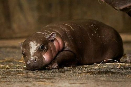 Baby hippo :)Baby Hippo, Pets, Christmas, Cutest Baby Animal, Pygmy Goats, Baby Animals,  Rivers Horse'S,  Hippopotamus Amphibius, Pygmy Hippo