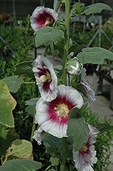 Click to view full-size photo of Creme de Cassis Hollyhock (Alcea 'Creme de Cassis') at Stein Gardens & Gifts