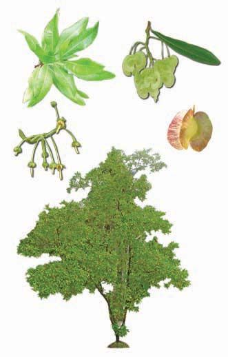 Image result for dodonaea viscosa botanical art