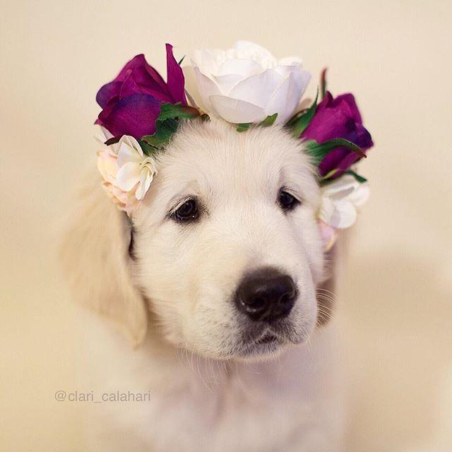 Golden Puppy Flower Girl                                                                                                                                                                                 More