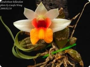 Dendrobium bellatulum - Orchideen der Schwerter Orchideenzucht