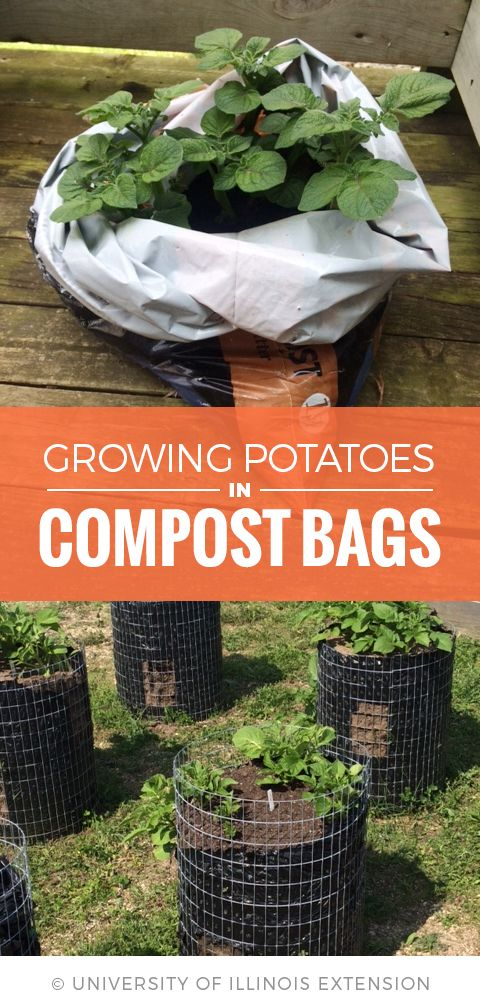 Growing Potatoes in Compost Bags – great for those without much yard space or poor soil quality! #gardening