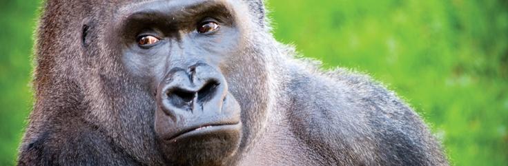 Western lowland gorilla - Philadelphia Zoo