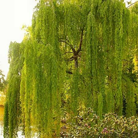 Buy mature trees online her