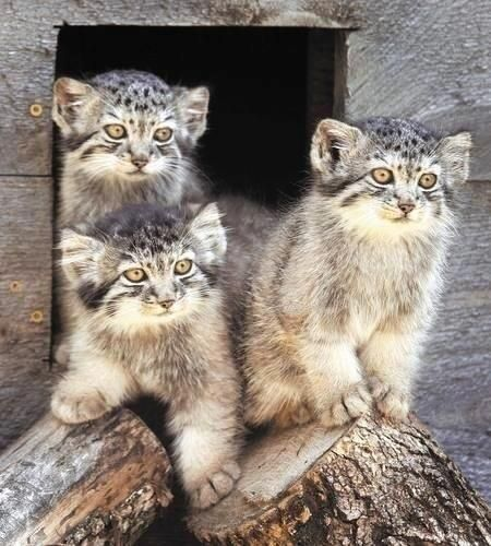 Manul catsCat Kittens, Wild Cat, Big Cat, Pallass Cat, Pallas Cat, Cat Baby, Pallas Kittens,  Catamount, God Creatures