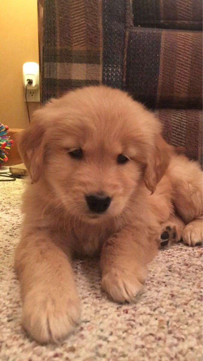 Pin By Virginia Guerry On Golden Retrievers Cute Puppies Cute